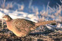 Ring-necked Pheasant, female