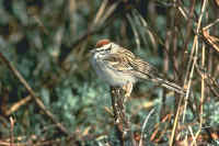 Chipping Sparrow, summer